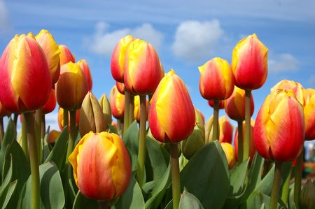 Orange and Yellow Tulips Against Blue Sky