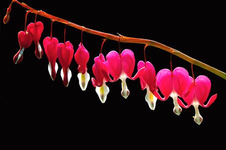 hemorragias: Sangrado Hearts on Black Foto de archivo