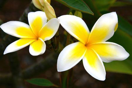 Macro White and Yellow Plumerias Фото со стока