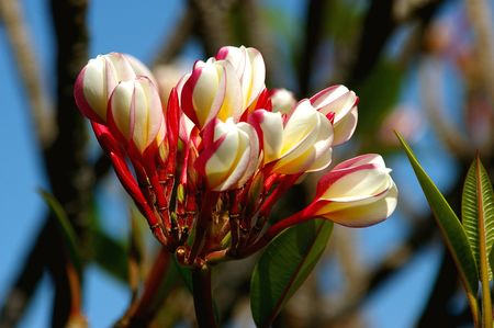 Plumeria Unfolding Stock Photo