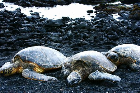 Three Turtles on Black Sand Beach, Hawaii Stock Photo
