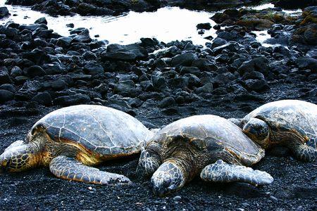 Trois tortues sur la plage de sable noir, Hawaii.
