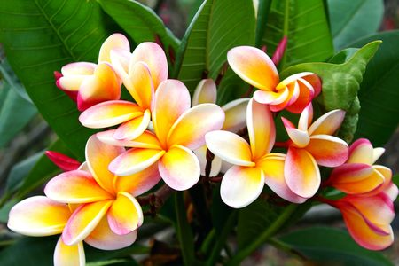 Peach and Yellow Plumeria Stock Photo