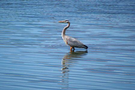 Blue Heron Fishing in Lake Stock Photo