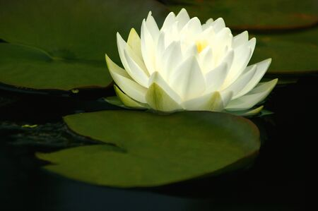 Macro White Waterlily