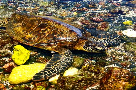 Camouflaged Hawaiian Sea Turtle