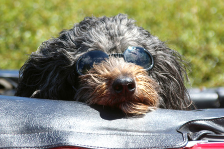 summertime:  Dog with Sunglasses Riding in Convertible Stock Photo