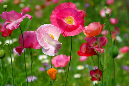 poppy field: Kleurrijke Descriptie  Stockfoto