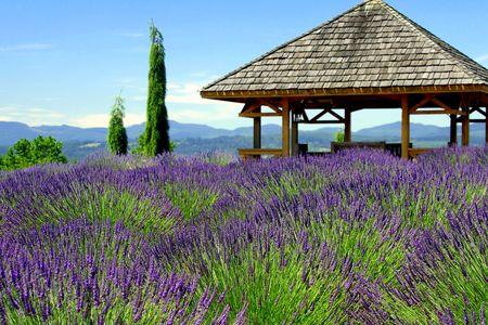 Prieel in Lavendel veld