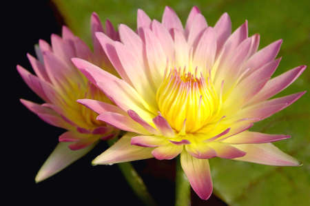 Yellow and Pink waterlilies