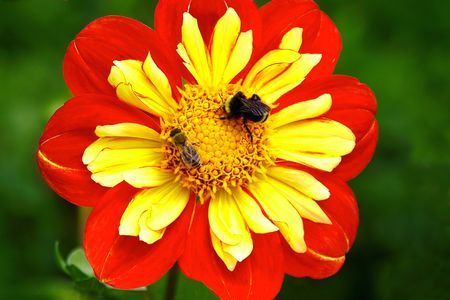Busy Bees on an Orange and Yellow Dahlia