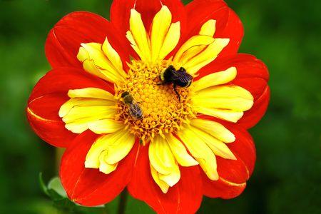 Disponibilit� des abeilles, orange et jaune Dahlia