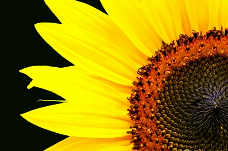 Partial Sunflower on Black