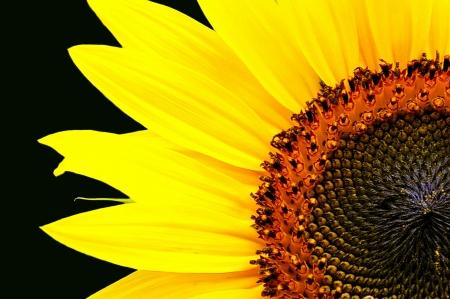 Sunflower parziale su nero