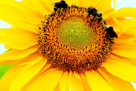 pollinators: Honey Bees on Sunflower
