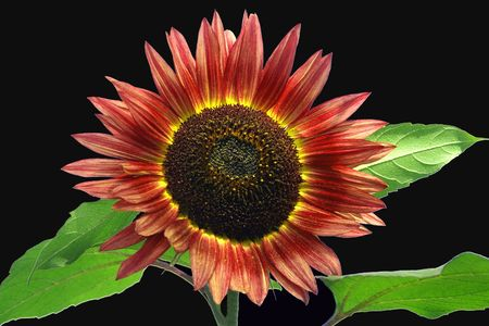 Red Sunflower on Black Black Background Stock Photo - 7852216