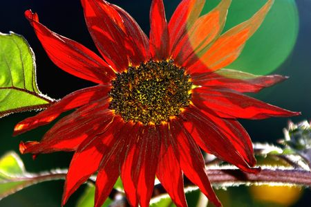 Sunlit Red Sunflower photo