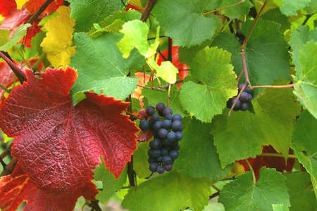 Autumn Grapes and Brightly Colored Leaves