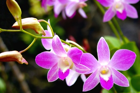 Phaleonopsis Orchid Spray Stock Photo