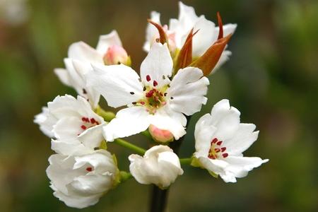 asian pear: Asian Pear Tree Flower Cluster