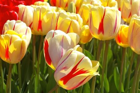 Beau rouge ray� Des tulipes jaunes