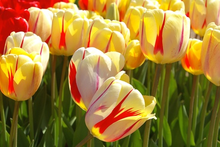 unfolding: Beautiful Red Striped  Yellow Tulips