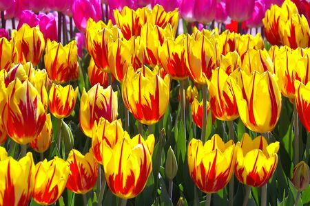 unfolding: Field of Backlit Yellow and Red Striped tulips Stock Photo