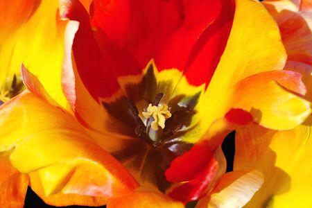 Macro Red and Yellow Tulip photo