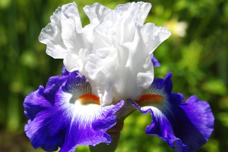 Macro White and Purple Iris