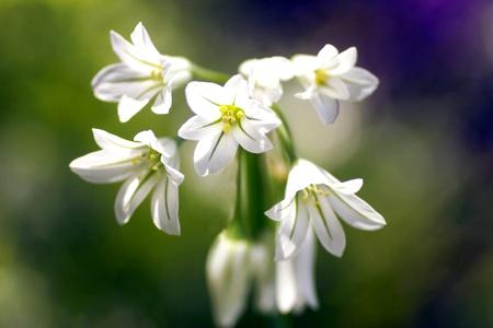 Kleine Allium-Spray Standard-Bild - 9748321