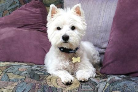 puppy love: Westie buscando graves en sof�