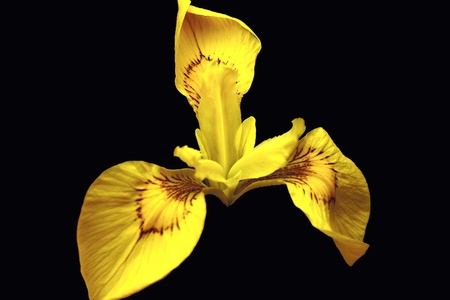 flores exoticas: Iris de agua amarillo sobre negro Foto de archivo
