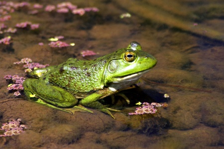 Lazy Bullfrog Stock Photo