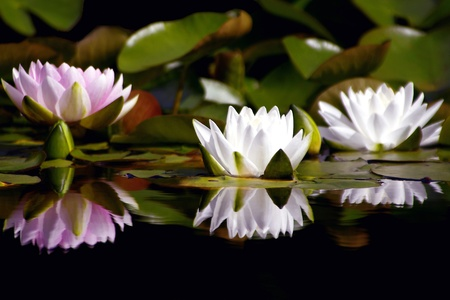 water lily: Three Waterlilies Reflecting