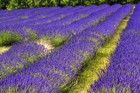 Clouds of Lavender Bushes in Hood River Oregon Stock Photo - 10140223