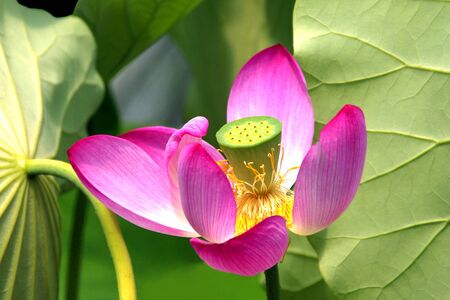 Regal Lotus Surrounded by Leaves photo