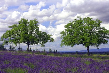 HIllside Lavender Landscape Stock Photo - 10191527