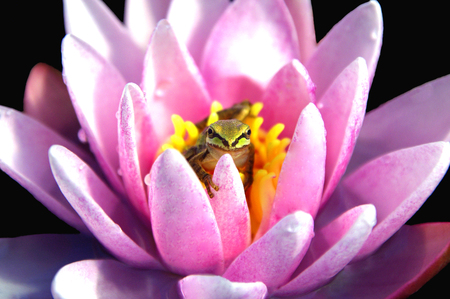 Pacific Treefrog Cupped in a Waterlily