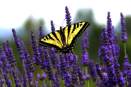blossoming yellow flower tree: Swallowtail Butterfly on Lavender Stock Photo