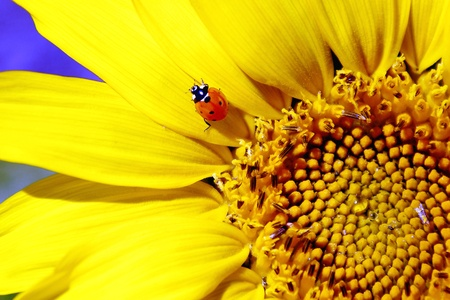 Ladybug Sitting on Sunflower