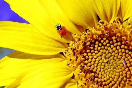Lieveheersbeestje zittend op zonnebloem