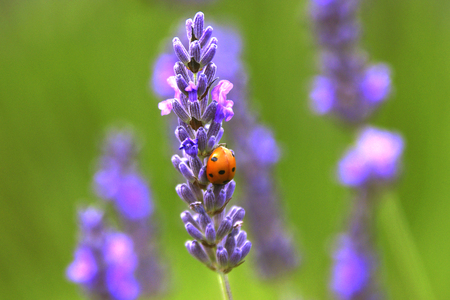 lavender coloured: Lavender Plant with Ladybug