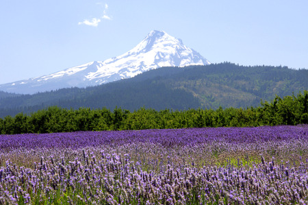 mt: Mount Hood Overlooking Lavender Valley Stock Photo