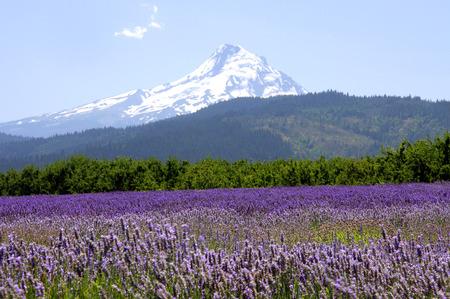 Mount Hood Overlooking Lavender Valley Foto de archivo