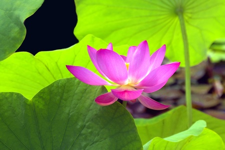 Lotus in a Canopy of Leaves photo
