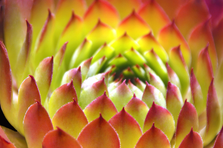 ornamental plant: Patterns of a Succulent Plant