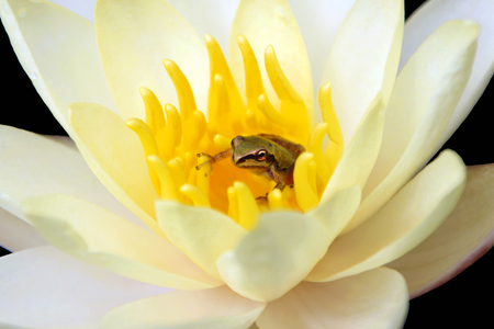 Tiny Pacific Treefrog in a Waterlily Stock Photo - 10383667