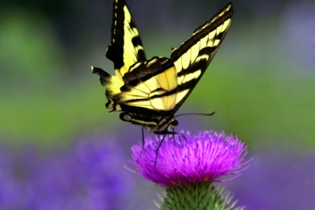 swallowtails: Yellow Swallowtail Butterfly on Thistle Stock Photo