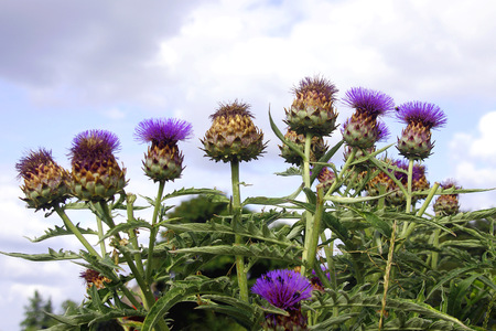 Artichokes with Bees