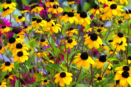 birds scenery: Field of Black Eyed Susans and Summer Flowers